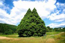 山形最上ドライビングスクール 小杉の大杉 トトロ トトロの木